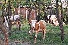 Vand vaci de lapte si vitei