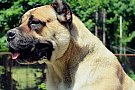 Vand cane corso italiano