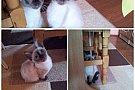 Pisici birmaneze :)