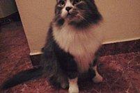 Pisica disparuta - zona Complex Comercial Alfa
