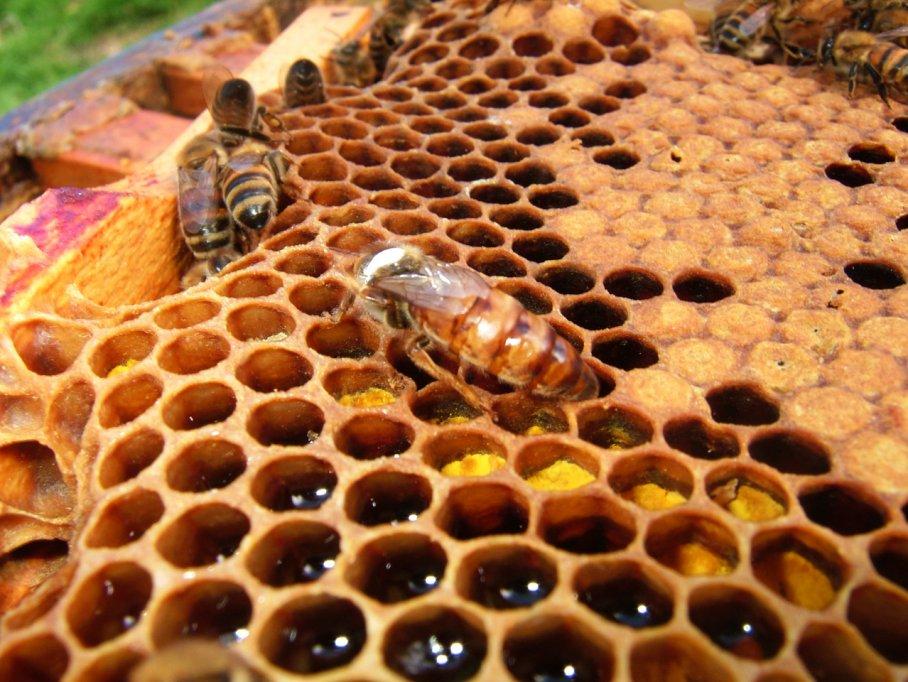 Adevarul uimitor despre albinele Buckfast - prezentat de afacerea de familie Apis Donau Romania