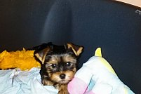 Catelusi Yorkshire Terrier