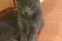 Am pierdut pisicuta cenusie!!!