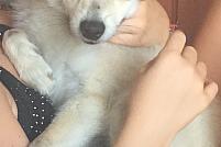 pierdut/furat Pomeranian