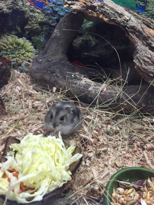 hamsteri pitici Siberieni