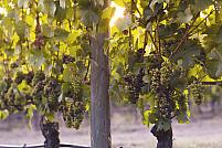 Cum îngrijești vița-de-vie pentru o recoltă bogată: 5 sfaturi utile