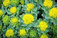 7 Beneficii de sănătate susținute de știință ale Rhodiola rosea