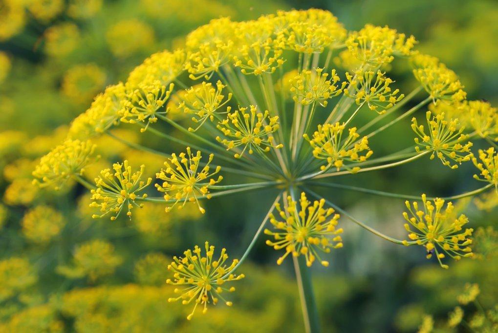 Galbanum o planta miraculoasa