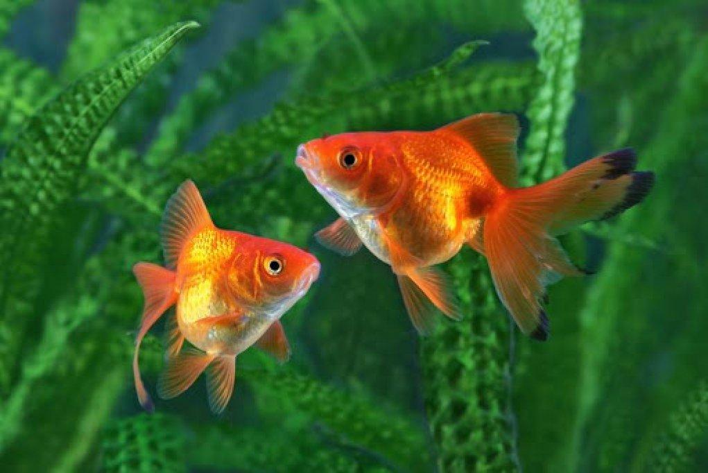 Cum ingrijesti in mod corespunzator pestii de acvariu?