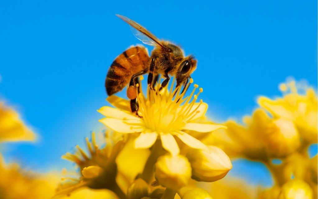 Terapia cu venin de albine