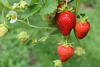 Cultura de căpșuni - de la plantare la recoltare