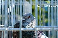 Când și cum este momentul potrivit pentru împerecherea și reproducerea porumbeilor