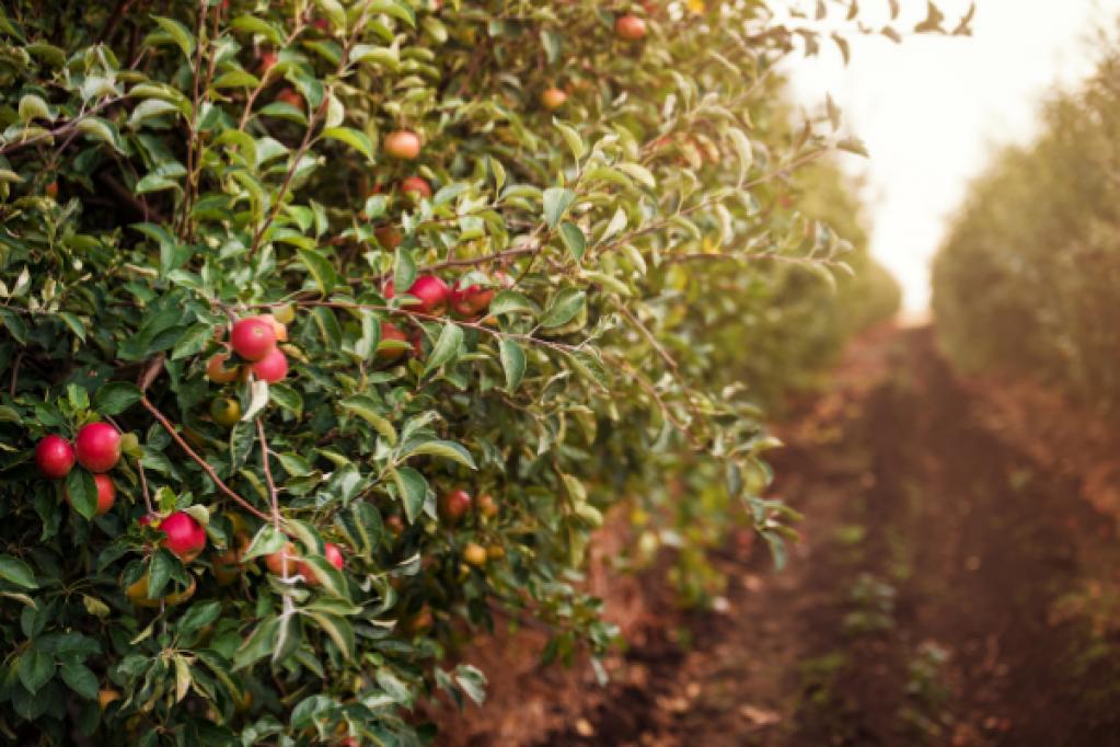 Ce tratamente sa aplici pomilor fructiferi vara