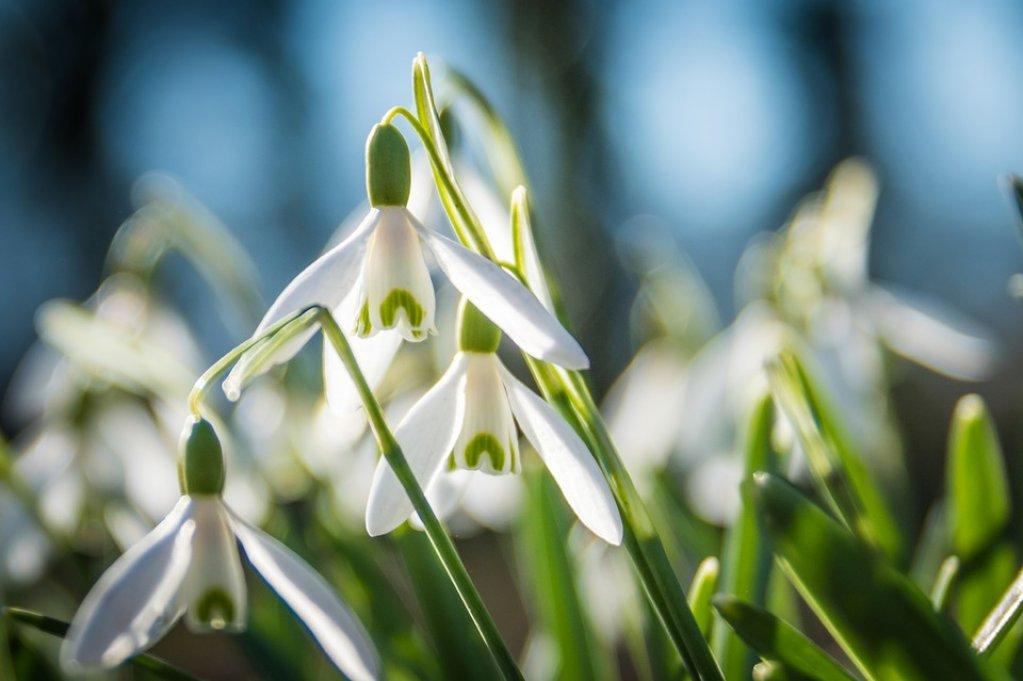 Care sunt primele flori de primăvară din grădină?